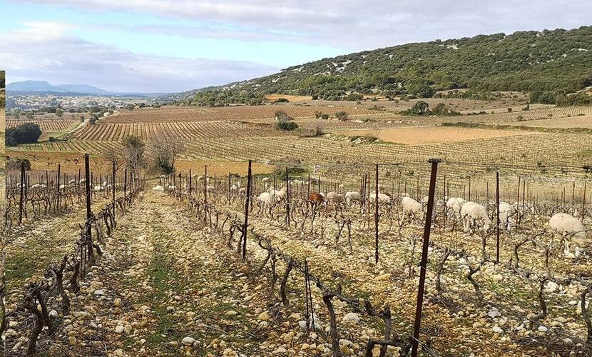フランス南部ラングドック・ルーション地方のワイン畑